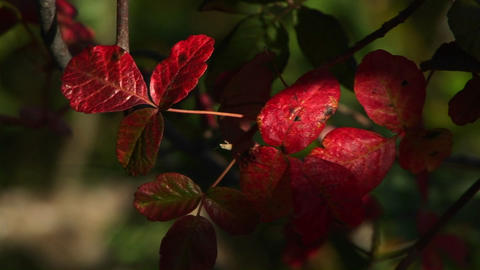 Close-up of red poison oak leaves swaying in the breeze Footage