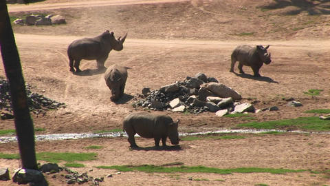 Long-shot of four rhinos standing around a stream Stock Video Footage