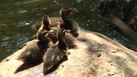 Bird's-eye shot of four baby ducklings sitting on a rock near the water calling out for their mother Footage
