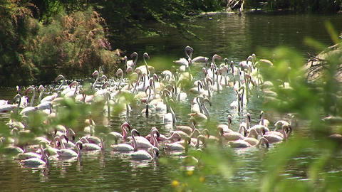 Long-shot of a flock of flamingos congregating in the water Footage