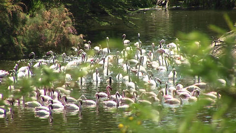 Long-shot of a flock of flamingos congregating in the water Stock Video Footage