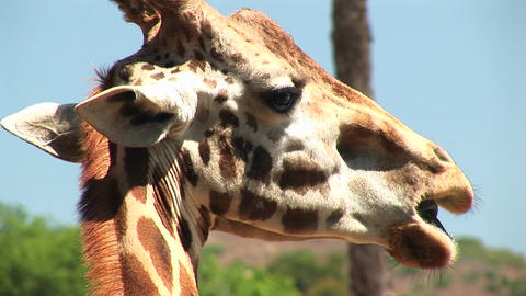 Close-up headshot of a giraffe chewing on a leaf Stock Video Footage