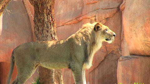 Medium-shot of a lion standing near rocks Stock Video Footage