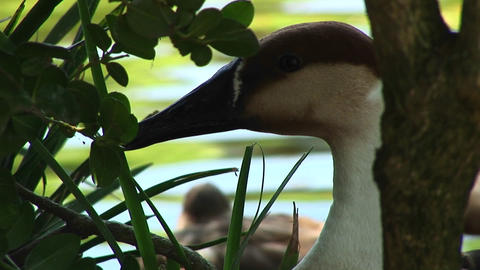 Close-up of a goose hiding among the reeds in the water Stock Video Footage