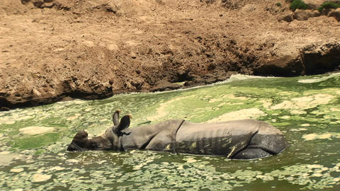 Medium-shot of a rhino resting in a mud wallow Stock Video Footage