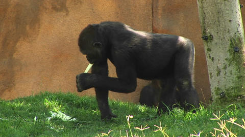 Medium-shot of a gorilla eating a banana in an enclosed... Stock Video Footage