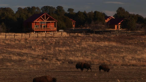 Medium shot of grazing bison in front of cabins Live Action