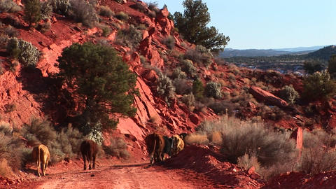Wide shot of a herd of cows strolling down a rocky hillside path in Utah Footage