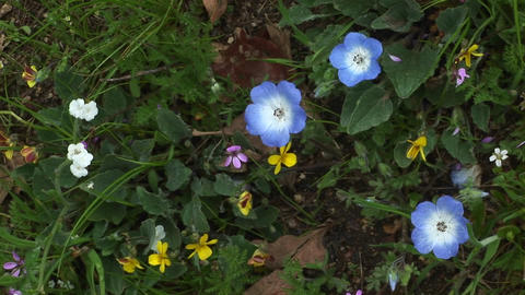 Close-up of Spring wildflowers in Sequoia National Park Stock Video Footage