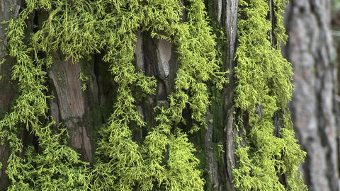 Close-up of moss growing on the bark of a pine tree Stock Video Footage