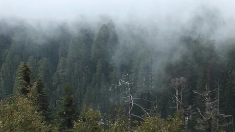 High-angle Of A Forest Of Pine Trees Being Enveloped In A Slow-moving Fog Bank stock footage