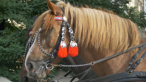 Horses with Red Harness Footage