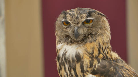 Owl Rotates and Look Footage