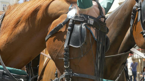 Two Horses with Harnesses Footage