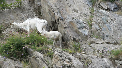 Dall Sheep baby and mother on cliff Footage