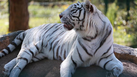 White Tiger Lying Down On Ground Footage