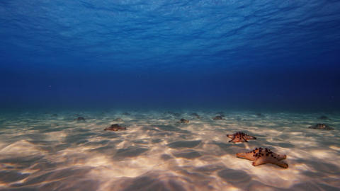 Horned Sea Stars Laying on the Ocean Floor in Blues Clear Ocean Waters Near Borneo Live Action