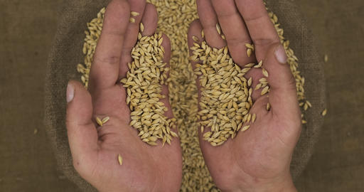 Farmer holds in his palms a grain of barley, falling grain into a bag Live Action