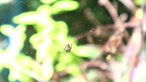 Garden Spider On A Web In The Sunshine Live Action