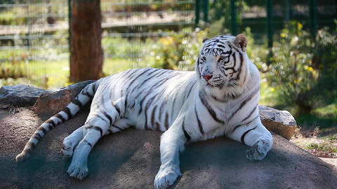 White Tiger Resting On A Rock Footage