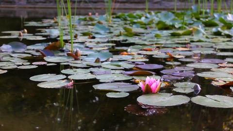 Water lily main 影片素材