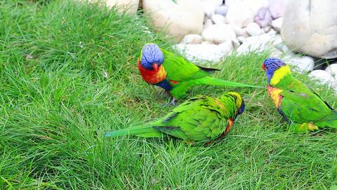 Three Rainbow Lorikeet Eating Grass Footage
