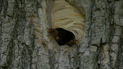 Hornet Fly In Out Nest Slow Motion Footage