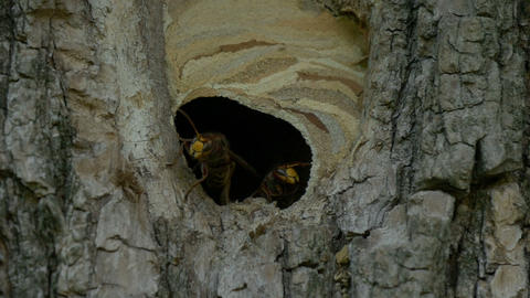 Hornet Fly Out Nest Slow Motion Footage