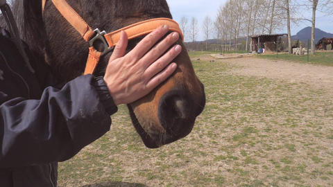 Farmer strokes the horse nose and shows his teeth. Checking the teeth of a thoroughbred horse. Slow Live Action