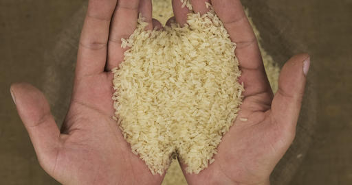 Farmer holds in his palms a grain of rice, falling grain into a bag Live Action