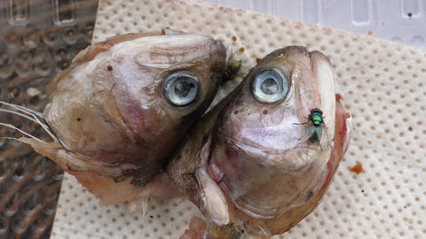 flies walk on severed fish heads, trout heads Live Action