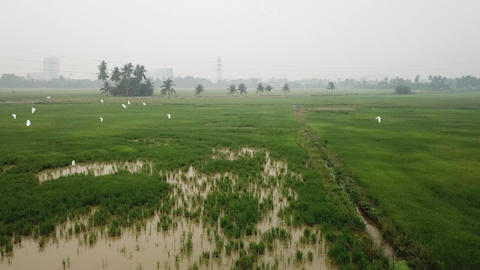 Aerial fly towards egrets fly at green paddy field Live Action