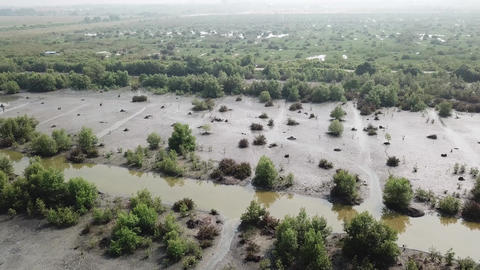 Aerial dead brown mangrove trees and green mangrove trees Live Action