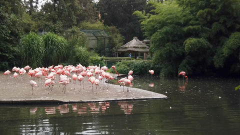 Pink flamingos brid flock in natural zoo park,zoology animals Live Action
