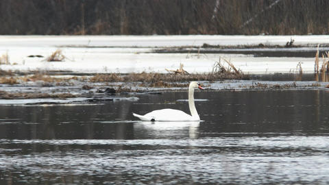 Swan floats on water. Russia Footage
