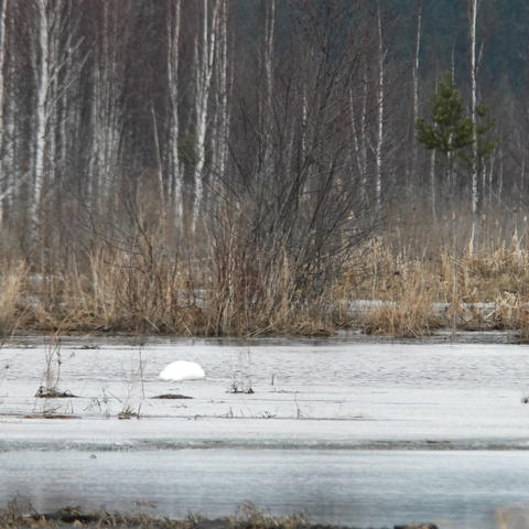 Swan in the distance. Early spring. Russia Footage