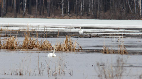 Two swans on the lake. Russia Footage