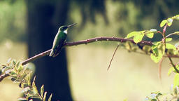 Hummingbird On A Tree Branch Footage