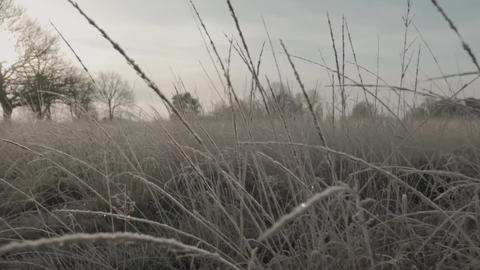 Wild grass dying due to severe cold weather Live Action