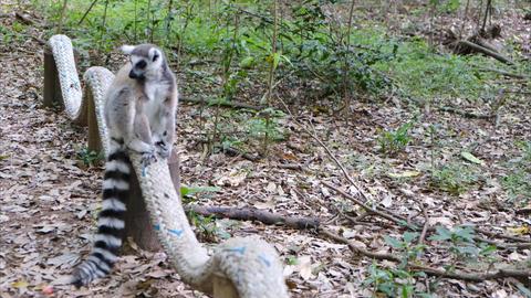 A wild lemur strolling around the forest ground Live Action