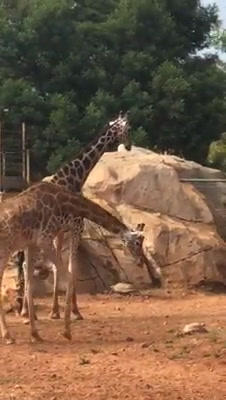 Giraffes and tortoise captive in a zoo Live Action