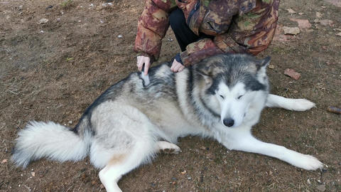 Person combing a siberian husky Live Action