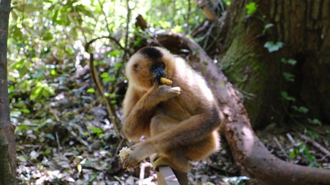 Footage of a monkey eating alone in the forest Live Action