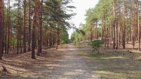 Summer Pine Forest GIF