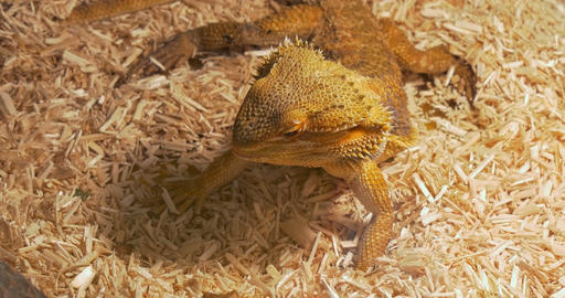 Pogona Eating Fly Footage