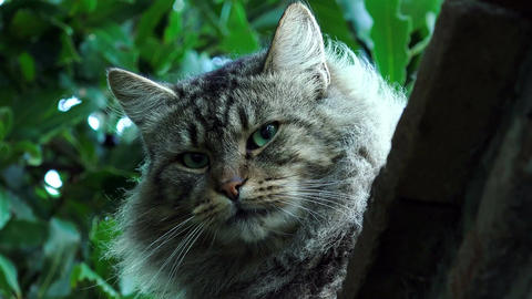 beautiful cat with long fur and green eyes Footage