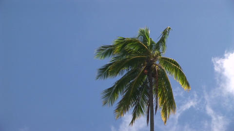 A palm tree blowing in the wind against a blue sky Stock Video Footage