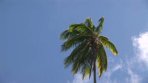 A palm tree blowing in the wind against a blue sky Footage
