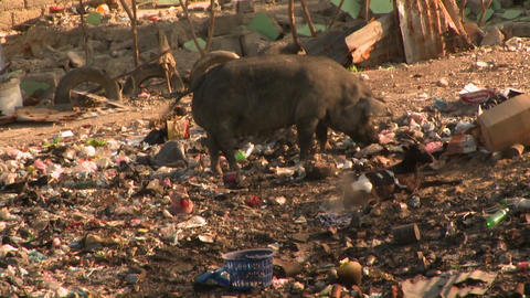 A pig forages through a garbage dump Stock Video Footage