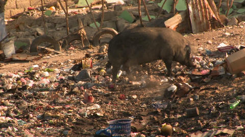 A pig forages through a garbage dump Footage